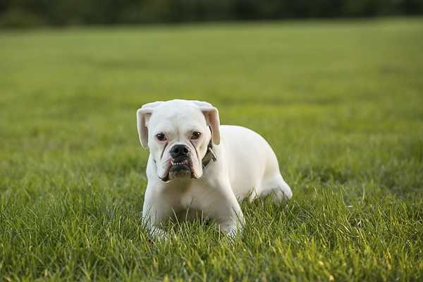 white Boxer lying on grass, on location dog photography