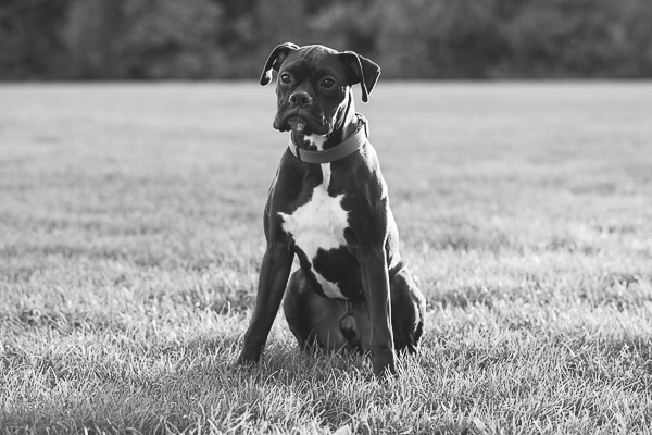 Brown boxer with white chest,