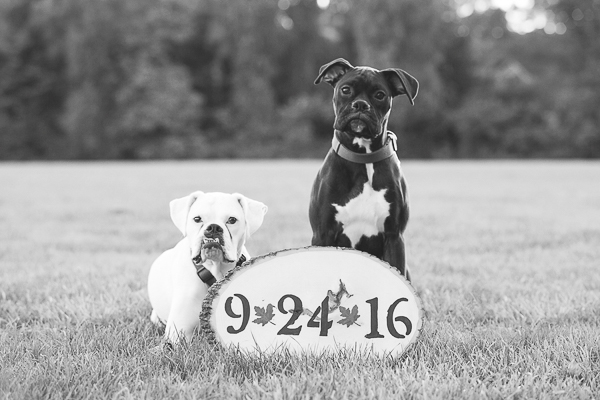 Boxers with Save the Date sign on wood slab, dogs and save-the-date-sign