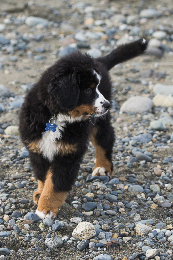 cute puppy pictures, adorable Berner pup on beach
