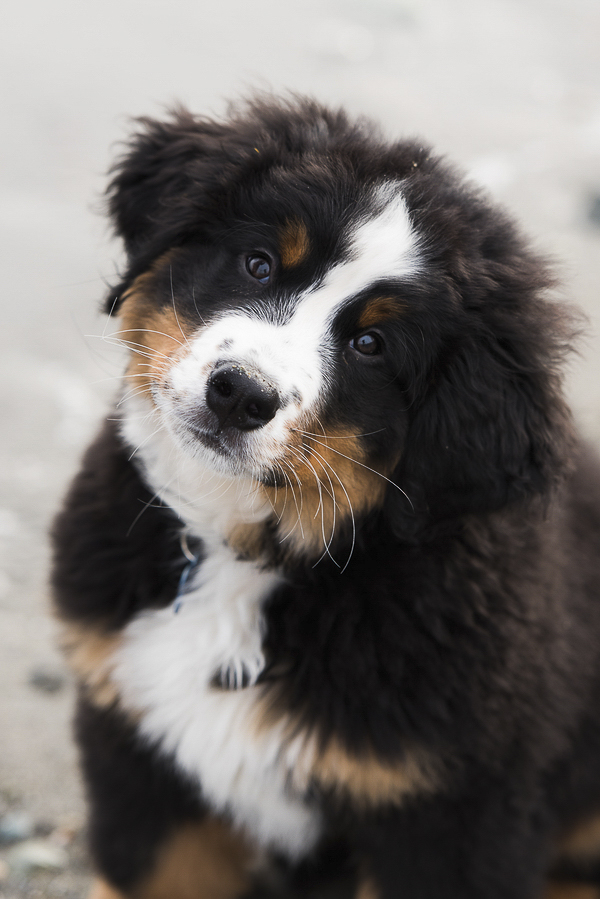 adorable Bernese Mountain Dog puppy, cute puppy photos