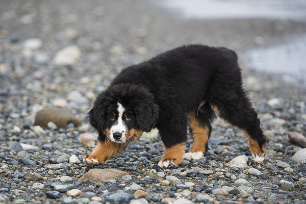 BMD puppy on rocky beach, modern dog photography