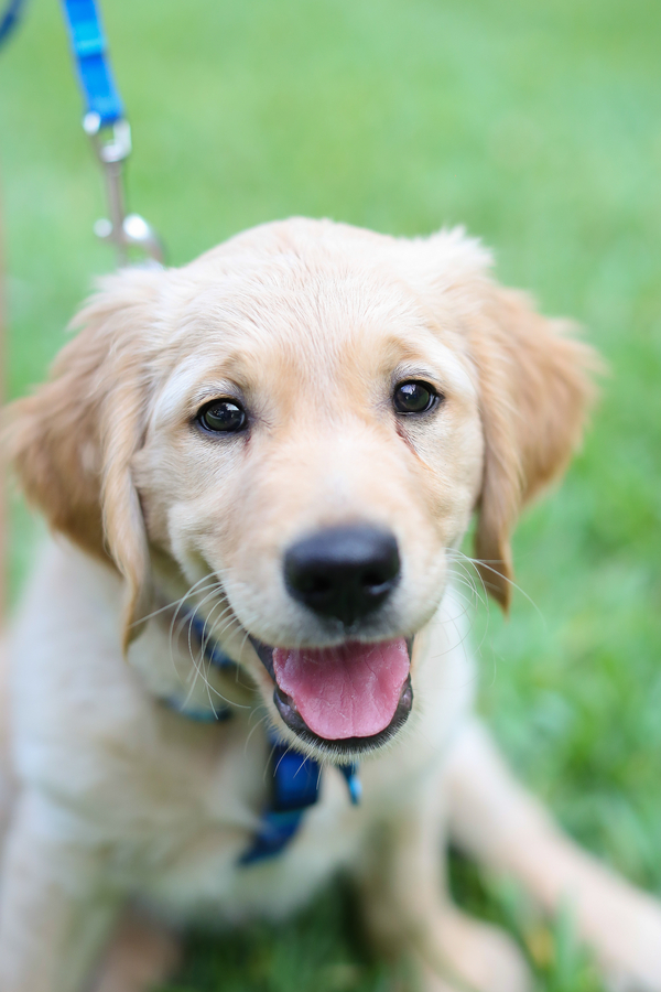 4 month old Golden Retriever puppy on grass