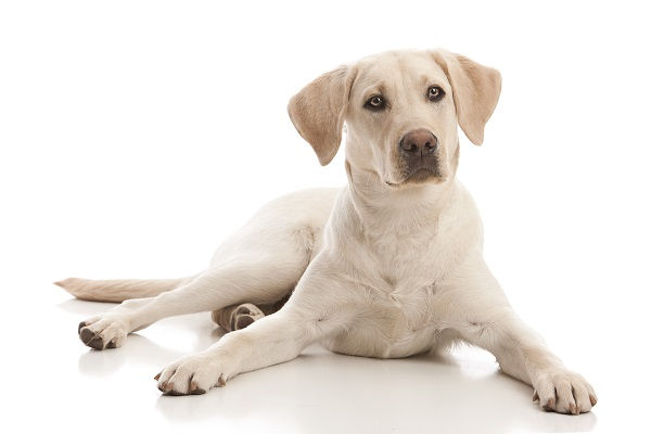 teenage yellow Labrador Retriever, future guide dog