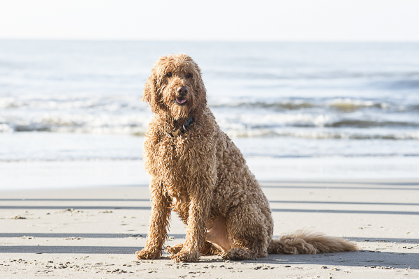 dog friendly beach, Goldendoodle,