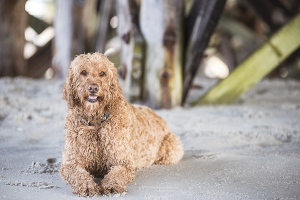 Spencer Goldendoodle under pier, beach dog photography