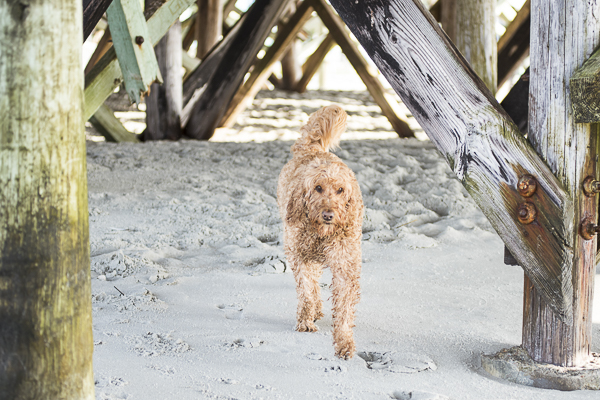 Goldendoodle under pier, beach dog