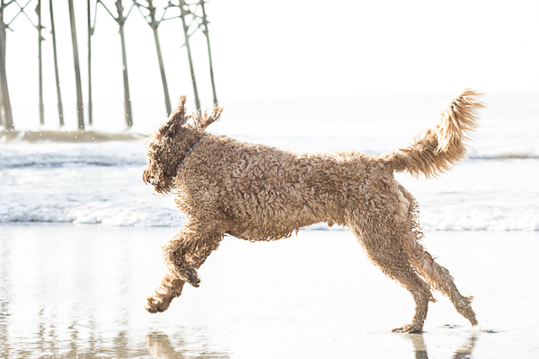 Goldendoodle running at the beach