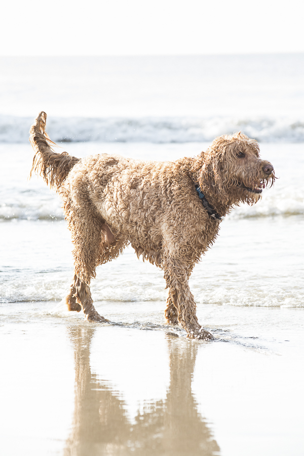 Goldendoodle at Myrtle beach, dog friendly beach