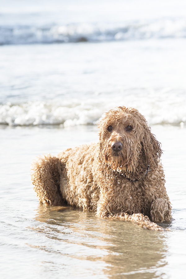 beach dog,Spencer the Goldendoodle, Myrtle Beach, SC