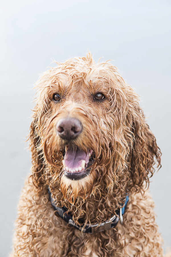 handsome wet dog, Goldendoodle