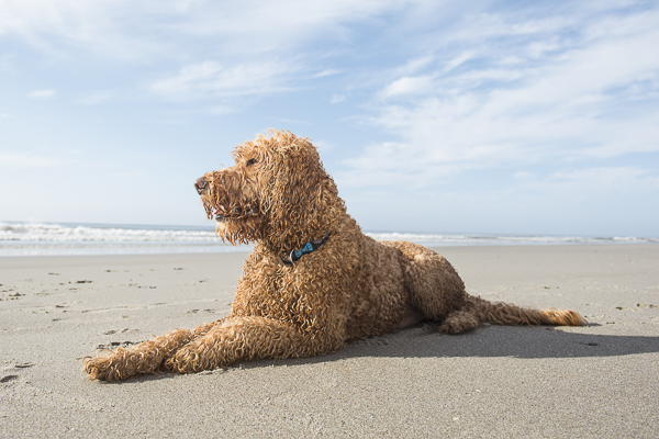 handsome Goldendoodle lying sandy beach