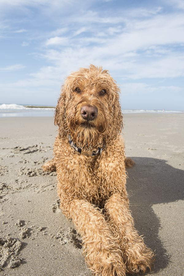 Spencer the Goldendoodle , dog friendly beach, Myrtle Beach Alice G Patterson dog photography