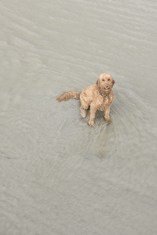 Goldendoodle sitting in the ocean, beach dog photography