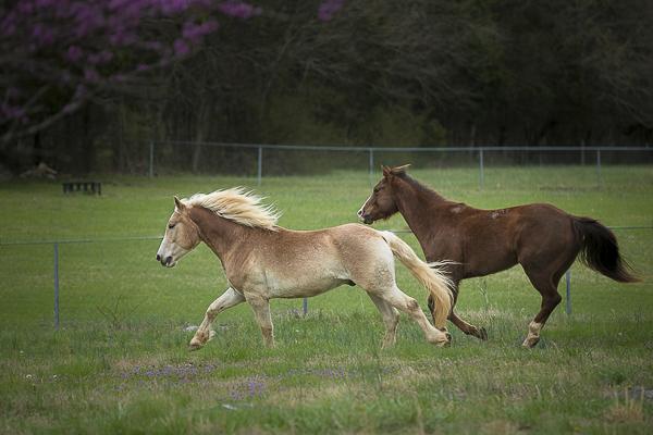 horses running in field, Haflinger, and Quarter Horse
