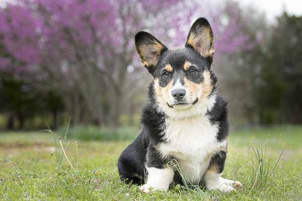adorable Corgi in front of tree with fuschia flowers