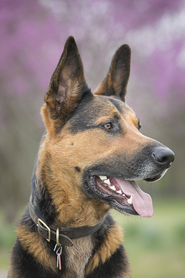 handsome Shepherd mix profile