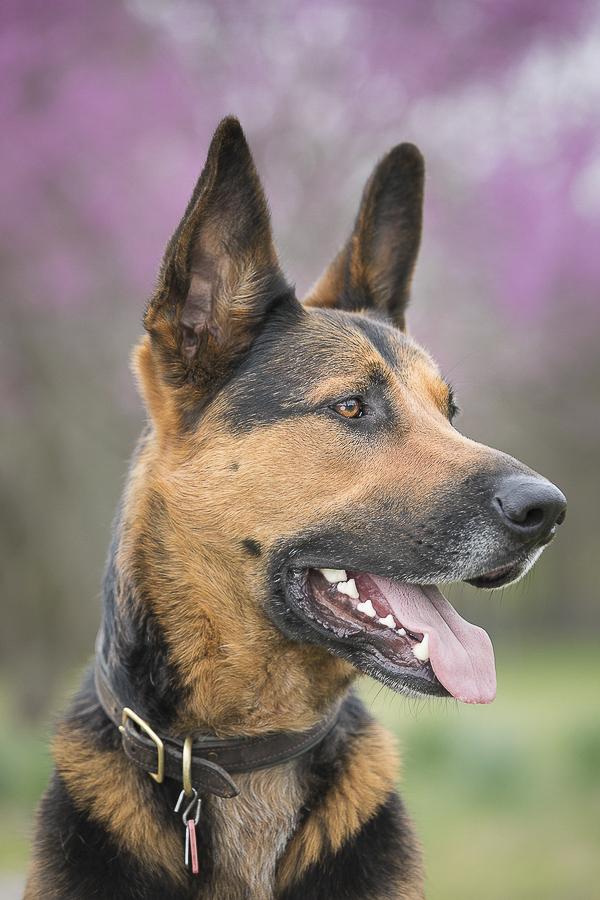 handsome Shepherd mix profile