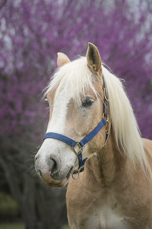 Haflinger horse close up