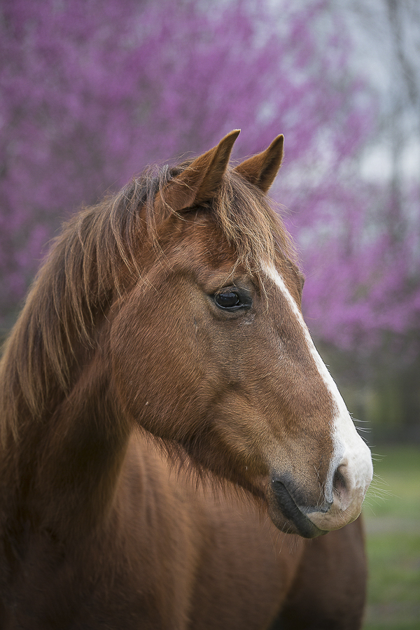 Springtime at the farm, Quarter Horse