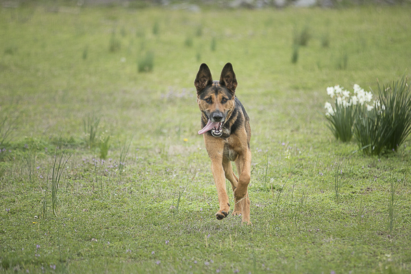 shepherd mix running through field