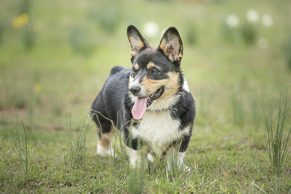 Welsh Pembroke Puppy standing in pasture with tongue out | lifestyle dog photographer