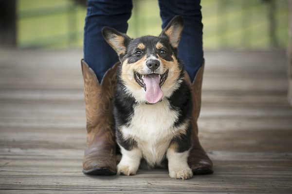 adorable Corgi puppy standing in front of woman wearing cowboy boots