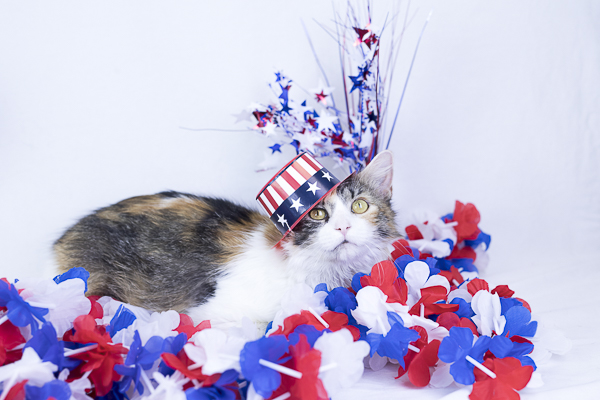 adoptable cat in Uncle Sam hat, Greenville, TN