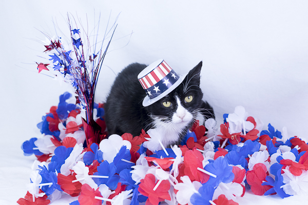 adoptable pets, tuxedo cat in red, white, blue hat,