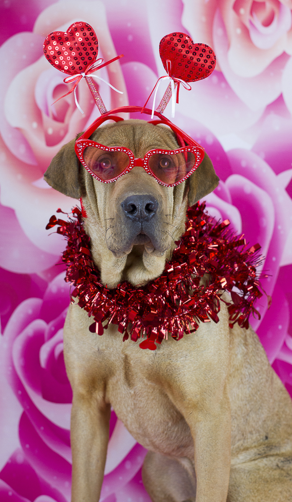 adoptable Shar Pei mix wearing red sunglasses, heart handband and red boa