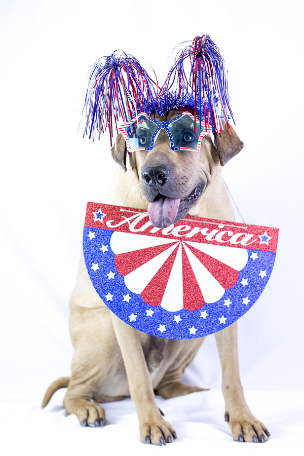 Adoptable Shar Pei mix dressed up for Fourth of July, Greenville, TN
