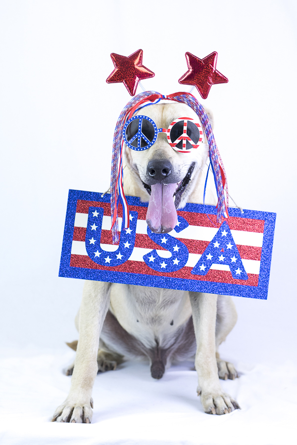 adoptable lab mix wearing red, white, blue, wig, peace sunglasses and holding USA sigh