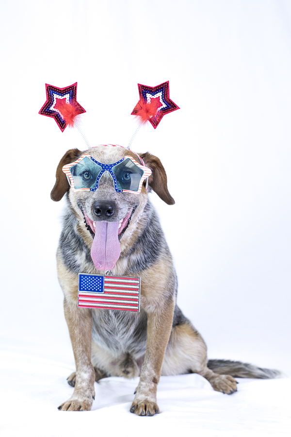 adoptable Cattle dog mix in 4th of July glasses,