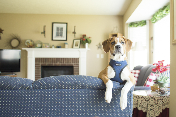 cute puppy looking over back of sofa, lifestyle dog photos