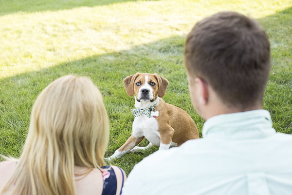 brown and white puppy wearing bow tie sitting in grass, Beagle Boxer mixed breed, family photos with dog