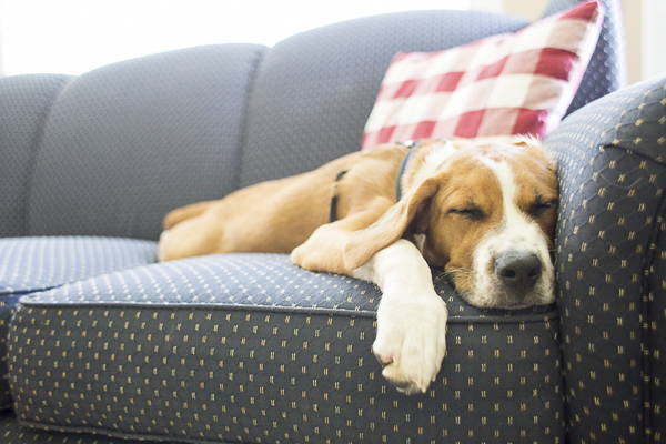 tired dog sleeping on blue sofa, Boxer-Beagle puppy