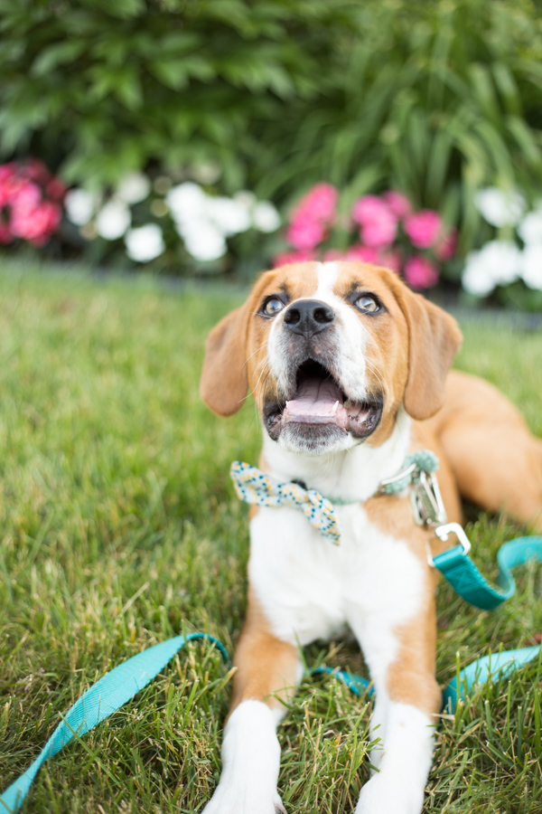 Boxer/Beagle mixed breed puppy looking up, lifestyle dog photographer