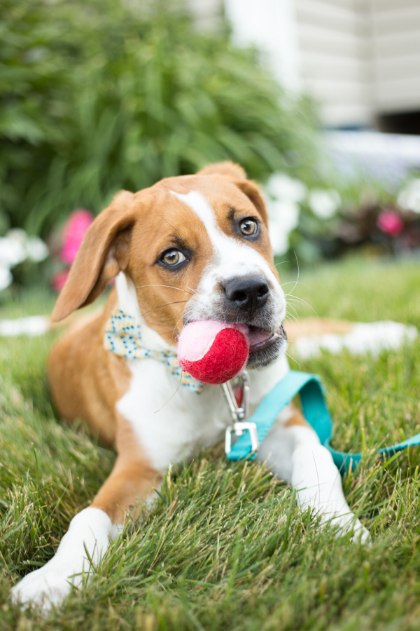 puppy wearing bow tie, chewing on red and white ball, lifestyle dog portraits