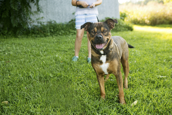 energetic, happy Rottie-Shepherd mix up for adoption Southern States Rescued Rottweilers