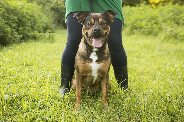 handsome Shepherd-Rottweiler mix available for adoption through SSRR