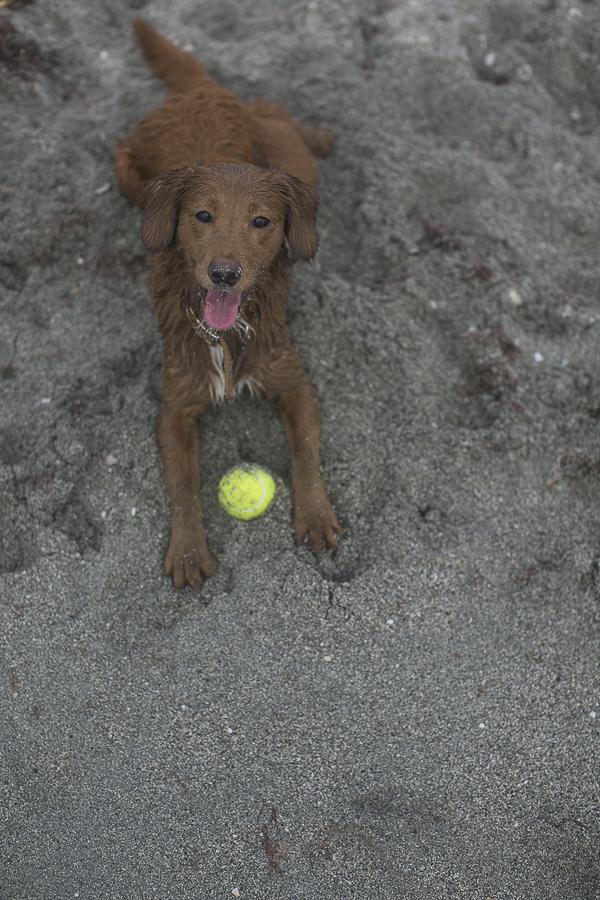 wet Retriever mix with ball on sandy beach