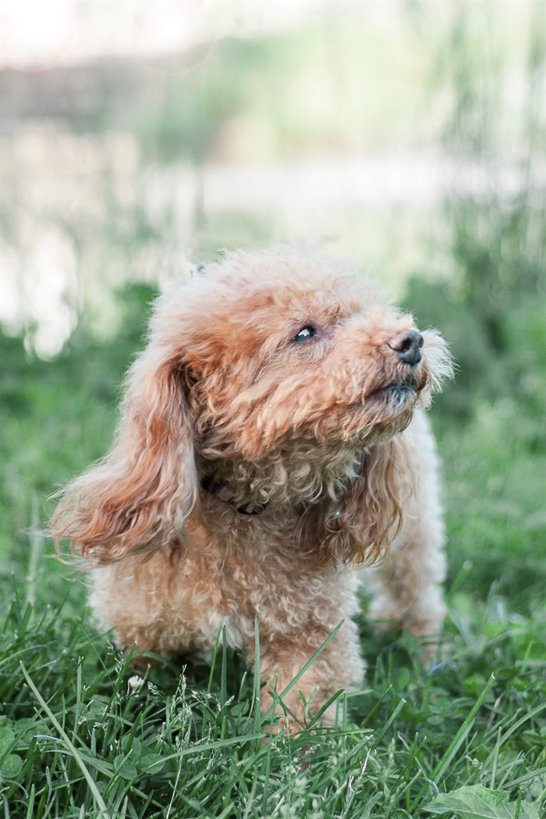 on location dog portraits, mini Poodle