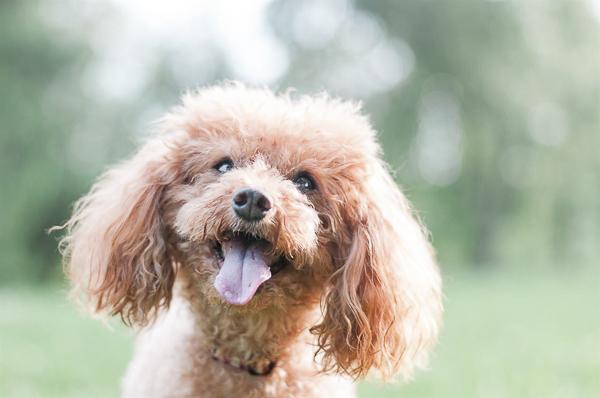 miniature poodle close up, special needs dog