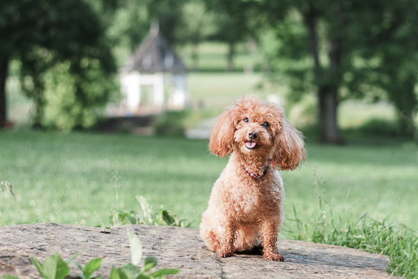apricot senior miniature poodle sitting, creative dog photography ideas