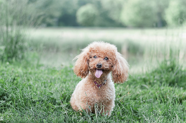 adorable Mini Poodle sitting in front of pond