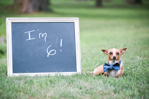 "rescued chihuahua birthday celebration, Chi wearing blue bow tie in park next to chalkboard sign ""I'm 6!"""