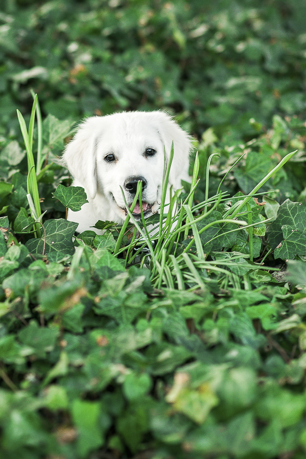 Cream Golden Retriever puppy in ivy, on location dog portraits