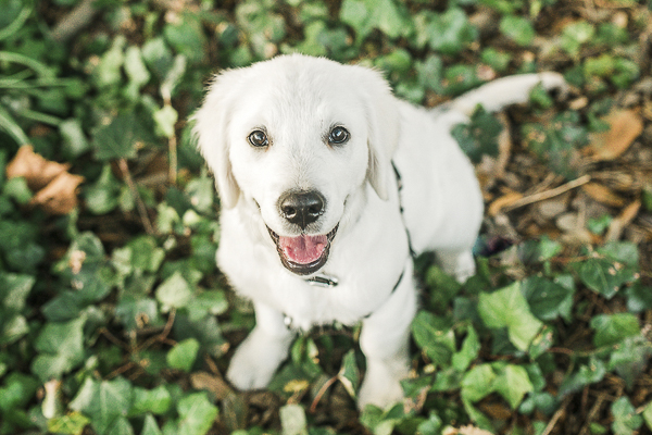 adorable white puppy, cream Golden Retriever puppy