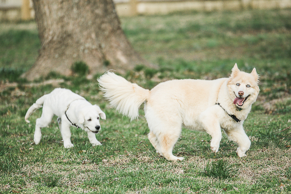 puppy playing with senior Golden Retriever-Husky mix