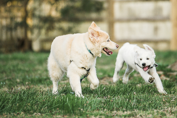 dogs running around backyard together, dog dynamic duo, bffs